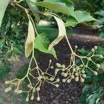 Tilia japonica