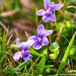 Viola riviniana Fleur