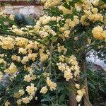 Rosa banksiae Flor