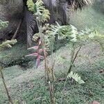 Heliconia rostrata 形態