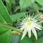 Passiflora costaricensis
