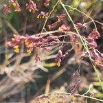Panicum coloratum Flower