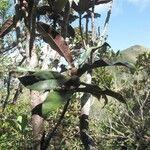 Ficus auriculigera