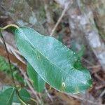 Trichosandra borbonica