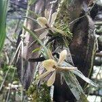 Epidendrum acunae