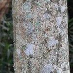 Inga spectabilis Bark