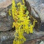 Chiastophyllum oppositifolium