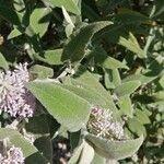 Buddleja salviifolia Leaf