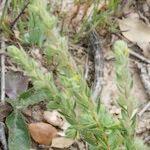 Thymelaea villosa