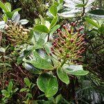 Schwartzia spiciflora
