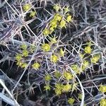 Euphorbia graciliramea