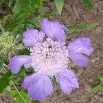 Lomelosia caucasica