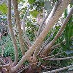 Erythrina lysistemon 樹皮