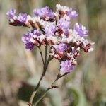 Limonium auriculiursifolium