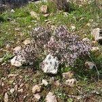 Thymus vulgaris Autre