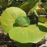 Coccoloba uvifera Blatt