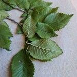 Ulmus minor Leaf