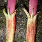 Erythrina cochleata