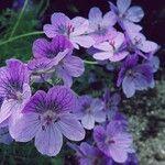 Geranium ibericum
