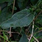 Solidago virgaurea Leaf