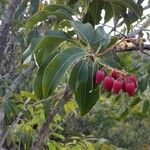 Agarista salicifolia