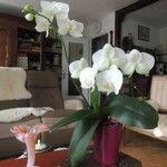 Phalaenopsis spp. Flower
