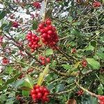 Ilex aquifolium Fruit