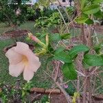 Allamanda cathartica Virág