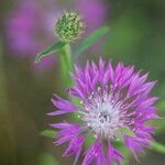 Centaurea napifolia