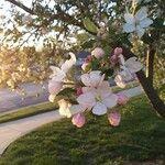 Malus pumila 花