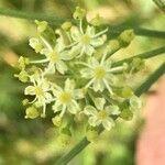 Heracleum sibiricum