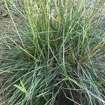 Helictotrichon cantabricum