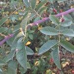Rosa × andegavensis