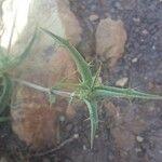 Atractylis serratuloides