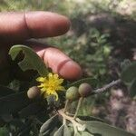 Grewia bicolor Flower