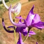 Delphinium pubescens