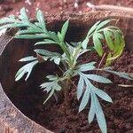 Grevillea robusta Хабит
