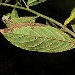 Banisteriopsis elegans