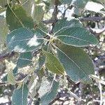 Salix caprea Leaf