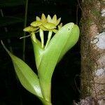 Epidendrum hunterianum