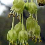 Acer neapolitanum