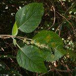 Acalypha pancheriana