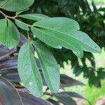 Cynometra cauliflora