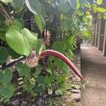 Aristolochia ringens