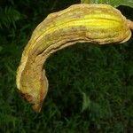Inga chocoensis