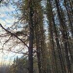Pinus sylvestris Natur