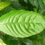 Stenosolen heterophyllus