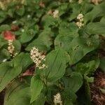 Maianthemum bifolium Flower