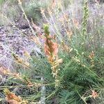 Onobrychis saxatilis