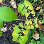 Agrimonia gryposepala Leaf